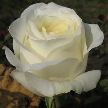"Роза чайно-гибридная ""Анастасия"""