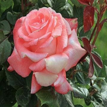 """Роза чайно-гибридная """"Элеганс"""""""