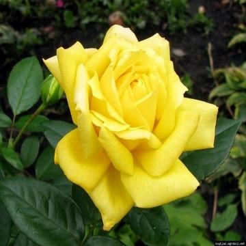 """Роза флорибунда """"Папилон"""""""