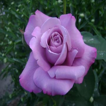 """Роза чайно-гибридная """"Си Си"""""""