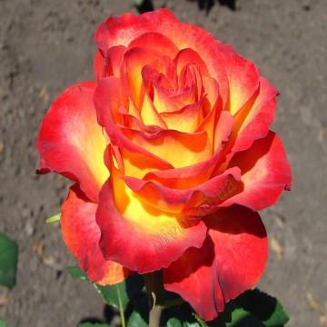 """Роза чайно-гибридная """"Утопия"""""""