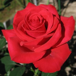 Саженцы - Розы