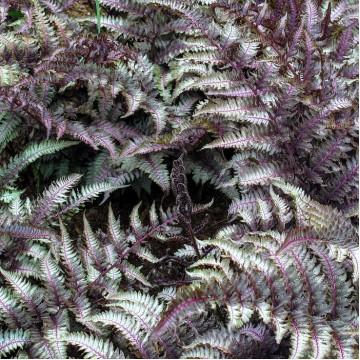 """Декоративные растения """"Кочедыжник (папоротник) Burgundy Lace"""""""