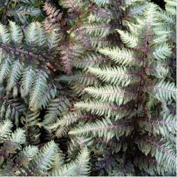 """Декоративные растения """"Кочедыжник (папоротник) Pewter Lace"""""""