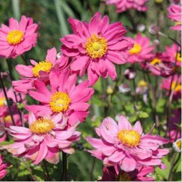 "Саженцы - Многолетние цветы ""Анемона Mont Rose"""