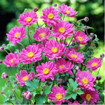 "Саженцы - Многолетние цветы ""Анемона Pretty Lady Julia"""