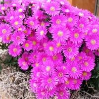 Астра альпийская махровая Aster Pink