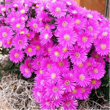 """Многолетние цветы """"Астра альпийская махровая Aster Pink"""""""
