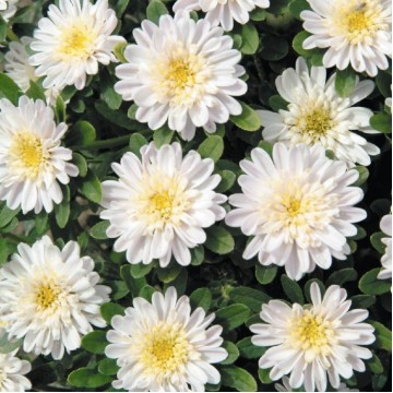 """Саженцы - Многолетние цветы """"Астра альпийская махровая Aster White"""""""