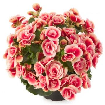 """Саженцы - Многолетние цветы """"Бегония Elatior Frivola Pink"""""""