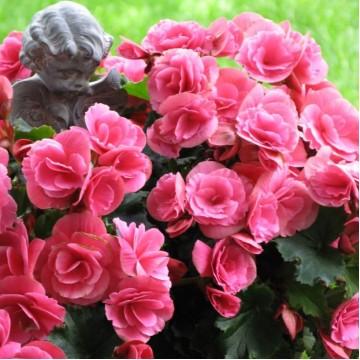 "Саженцы - Многолетние цветы ""Бегония First Kiss"""