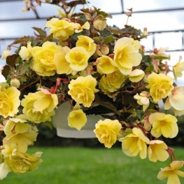 Бегония Fragrant Falls Lemon