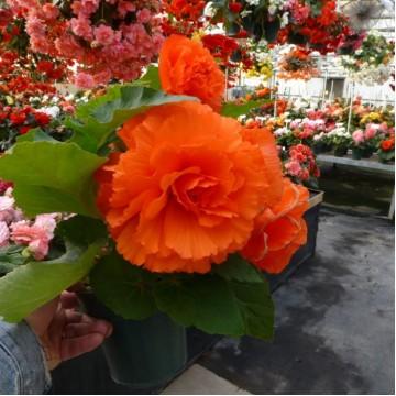 """Саженцы - Многолетние цветы """"Бегония Fragrant Falls Orange"""""""