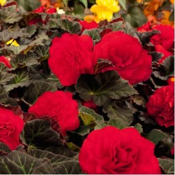 """Саженцы - Многолетние цветы """"Бегония клубневая Mokka (микс)"""""""