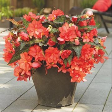 """Саженцы - Многолетние цветы """"Бегония Miss Malibu"""""""