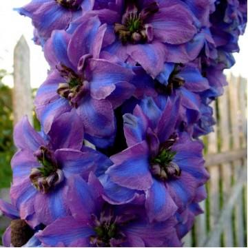 """Многолетние цветы """"Дельфиниум Новозеландский махр. (микс 10 сортов)"""""""