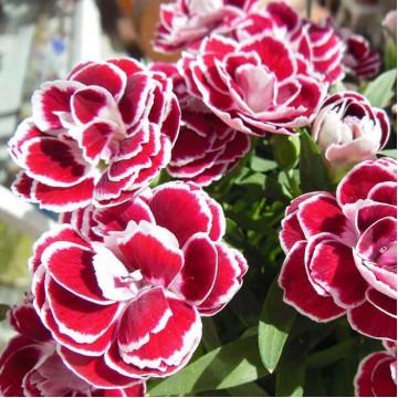 """Многолетние цветы """"Гвоздика махровая (микс 20 сортов)"""""""