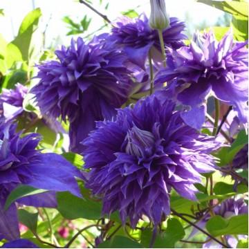 "Саженцы - Многолетние цветы ""Клематис Multi Blue"""