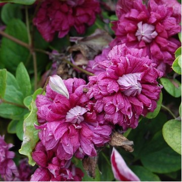 """Многолетние цветы """"Клематис Purpurea Plena"""""""