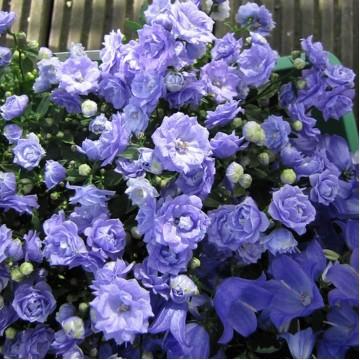 """Саженцы - Многолетние цветы """"Колокольчик Elizabeth Oliver"""""""