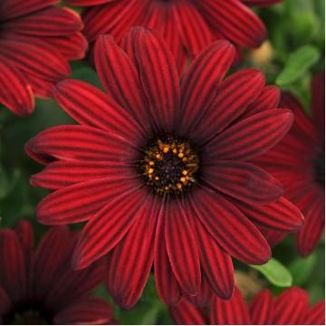 """Саженцы - Многолетние цветы """"Остеоспермум компактный (микс 12 сортов)"""""""