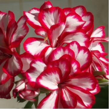 """Многолетние цветы """"Пеларгония плющелистная  махровая (микс 15 сортов)"""""""