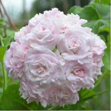 """Саженцы - Многолетние цветы """"Пеларгония розебудная Mary"""""""