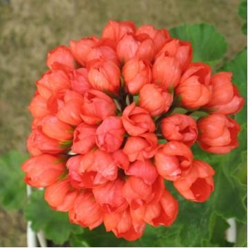 """Саженцы - Многолетние цветы """"Пеларгония тюльпановидная Red Pandora"""""""