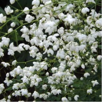 "Саженцы - Многолетние цветы ""Василистник белый Splendide White"""