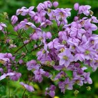 Василистник Purplelicious