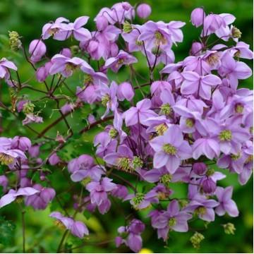 """Многолетние цветы """"Василистник Purplelicious"""""""