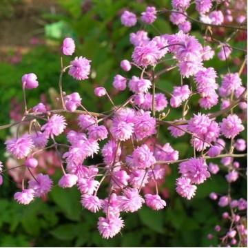 """Саженцы - Многолетние цветы """"Василистник розовый Splendide"""""""
