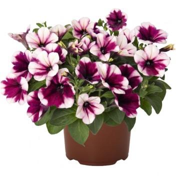 """Саженцы - Однолетние цветы """"Петуния ампельная Sweetunia Purple Touch"""""""