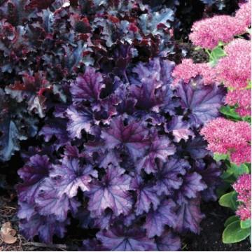 "Саженцы - Почвопокровные растения ""Гейхера Forever Purple"""