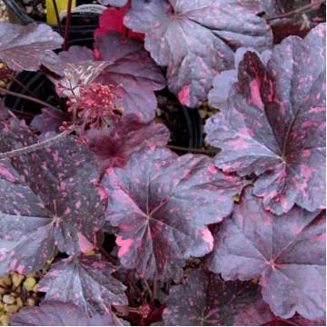 """Почвопокровные растения """"Гейхера Midnight Rose Select"""""""