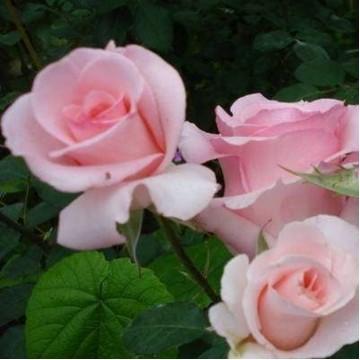 """Саженцы - Роза чайно-гибридная """"Фламинго"""""""