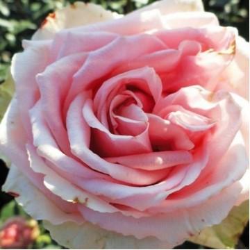 "Роза чайно-гибридная ""Кинг Конг"""