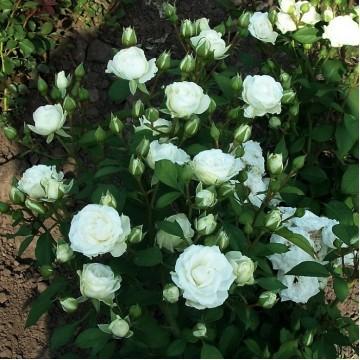"Роза миниатюрная ""Корснода"""