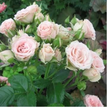 """Роза миниатюрная """"Лидия"""""""