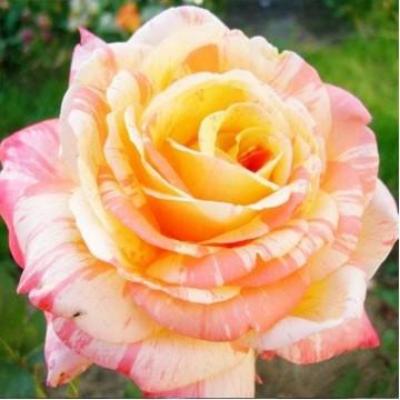 """Роза чайно-гибридная """"Марвел"""""""