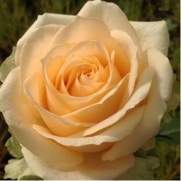 """Роза чайно-гибридная """"Пич Аваланш"""""""