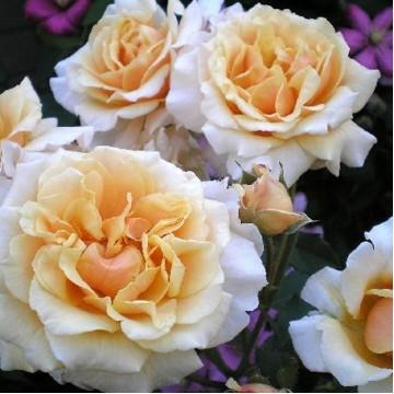 """Роза флорибунда """"Шанелла"""""""