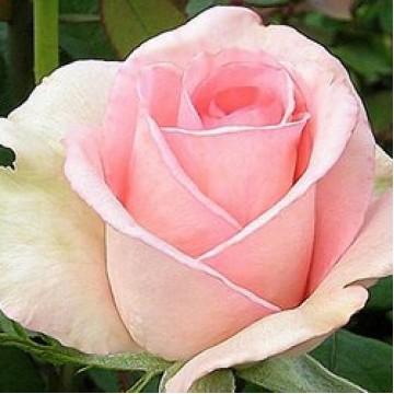 """Роза чайно-гибридная """"Шантелла"""""""