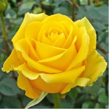 """Роза чайно-гибридная """"Керио"""""""