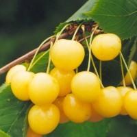 Чермашная (Желтая)