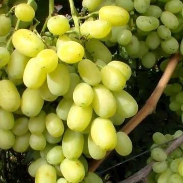 """Виноград """"Лора"""""""