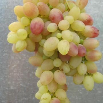 """Виноград """"Тасон"""""""